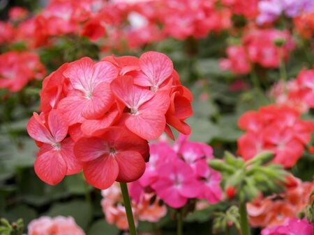 opium: Red flower
