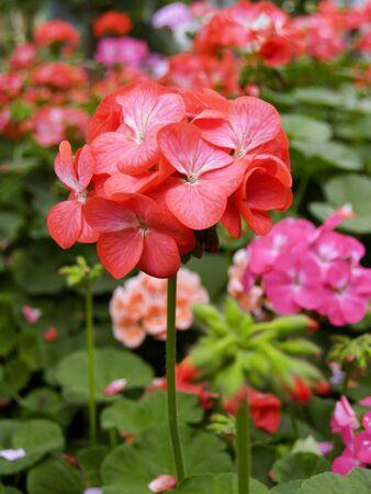 opium poppy: Red flower