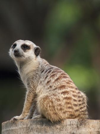 at meerkat: Meerkat Surikate