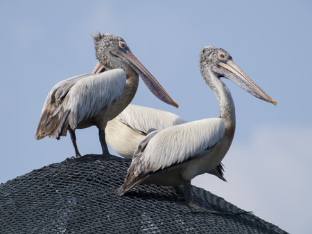 pelican: Brown Pelican Stock Photo