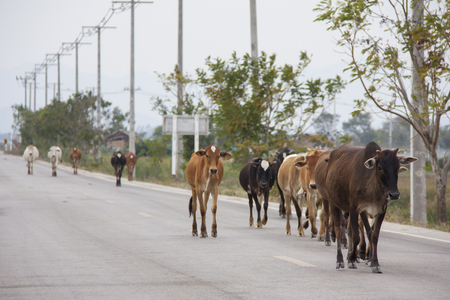 milker: cows on the road Stock Photo