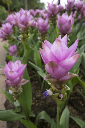 curcuma: Photo of Curcuma alismatifolia blossom in Thailand Stock Photo