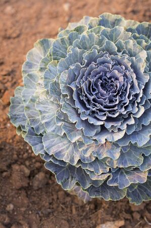 flowering kale: cabbage in the garden