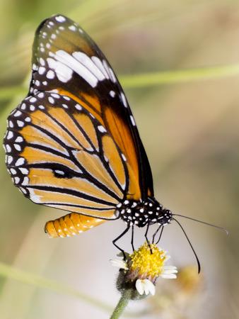 Orange butterfly on flower, Thailand.
