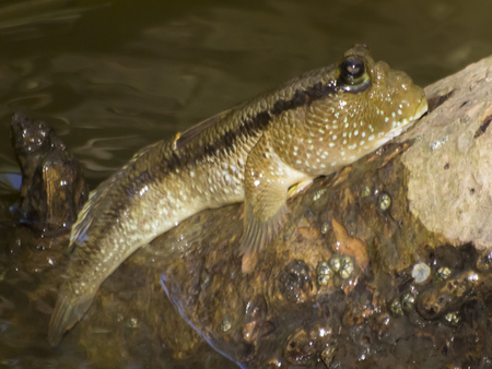 Close-up van mooie mudskipper vis Stockfoto