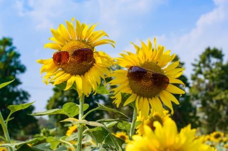 people sunflowers