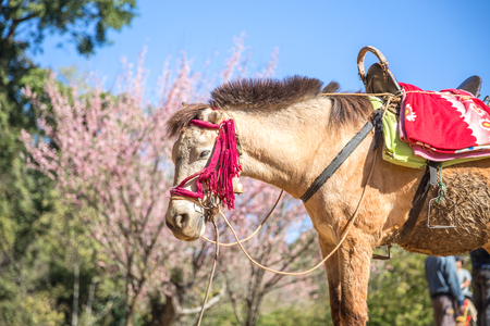 mule: Mule with saddle tied with rope Stock Photo