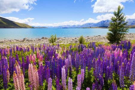 lake flowers: Field of lupin wildflowers on the shore of lake Tekapo in New Zealand Stock Photo