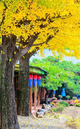 gingko: Autumnal yellow gingko tree in beautiful garden Stock Photo