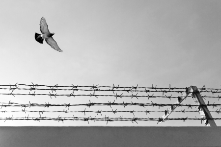 barbwire: Pigeon flying over barbwire Stock Photo