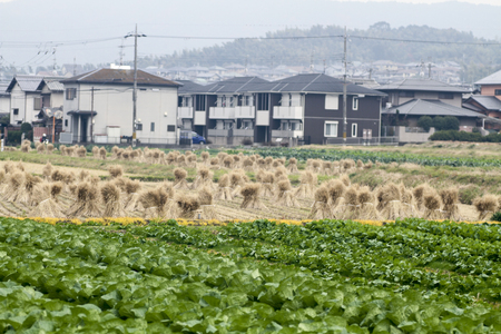 rice straw piles shine up and waiting for harvesting the rice grain 스톡 콘텐츠