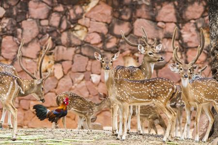 Beautiful portrait chital deer in the zoo