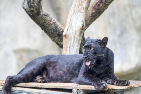 Beautiful black panther
