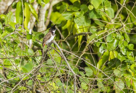 Red-whiskered bulbul Bird in nature