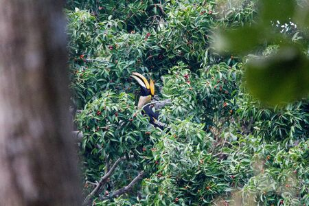 Great hornbill enjoy eating Banyan tree fruit in the forest  T Banque d'images - 132125530