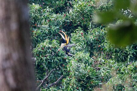Great hornbill enjoy eating Banyan tree fruit in the forest  T