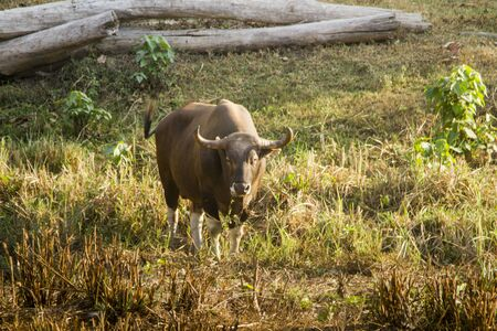 Wild Banteng in Thailand park reserved