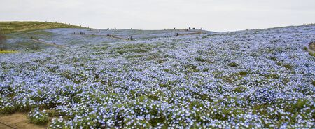 Nemophila, a flower that blooms in spring 版權商用圖片