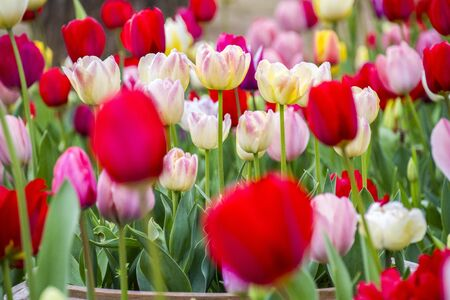 Group of colorful tulip. Soft selective focus, tulip close up, toning. Bright colorful tulip photo background 版權商用圖片