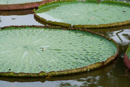 Victoria Amazonica in the pond photo