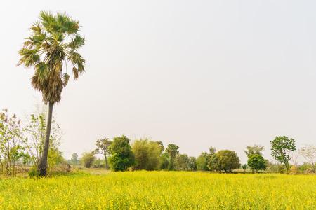 champ de mais: champ de ma�s rurale avec palmier