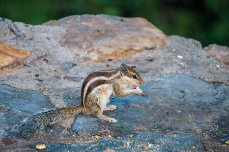 ardilla listada: Ardilla de pie sobre la piedra y comer un bocadillo