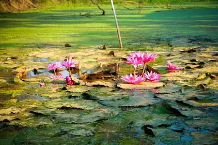 in full bloom: Lotus in the pond. Many lotus flowers in the pond is in full bloom Stock Photo