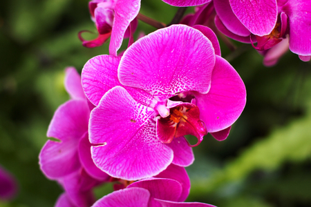 Purple orchids, Violet orchids. Orchid is queen of flowers.
