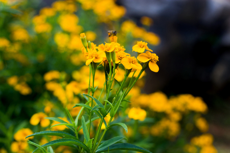 Spring background with beautiful yellow flowers and blur bee