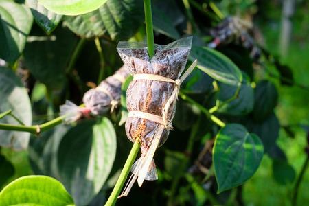 Propagate Pepper Plants using air-layers