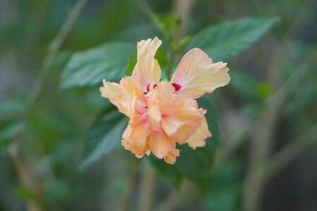 Orange hibiscus flower bloom with green leaves in the garden.
