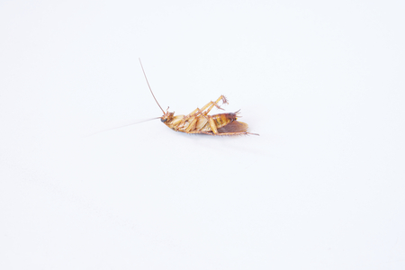 Dead cockroach lie supine put on a white background. Stockfoto
