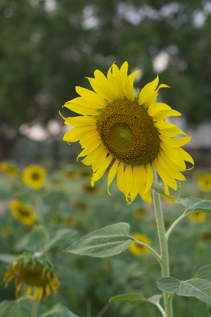 Beautiful sunflower field is full bloom in garden have tree as background.
