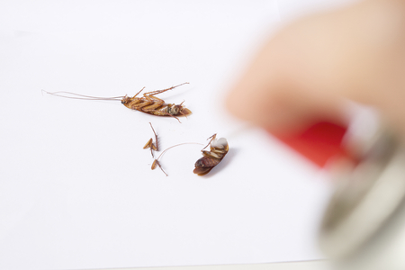 Brown cockroach or Blattodea lie by insecticide put on a white background.