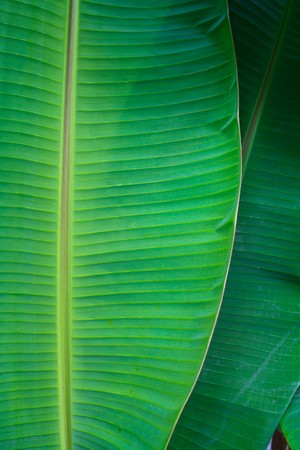 banana leaf close up Stock Photo - 7250056