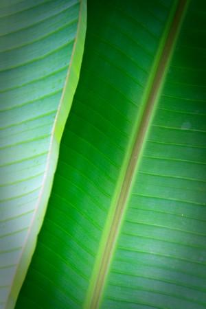 banana leaf close up Stock Photo - 7291008