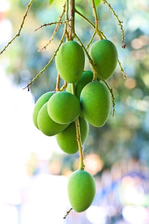 Fresh and green Mango Stock Photo - 8974552