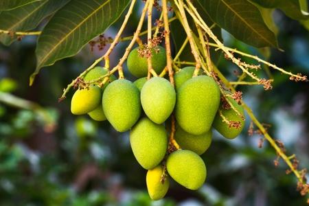 bitter fruit: Fresh and green Mango