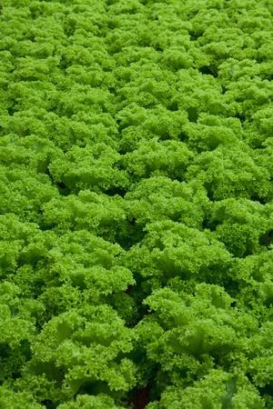 vegetables hydroponics farm,Cameron Malaysia