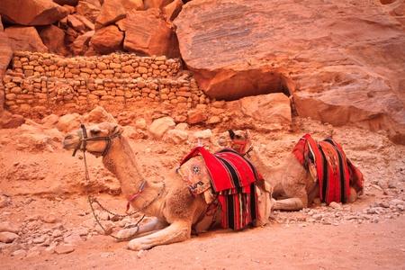 Camel sitting on a desert land  photo