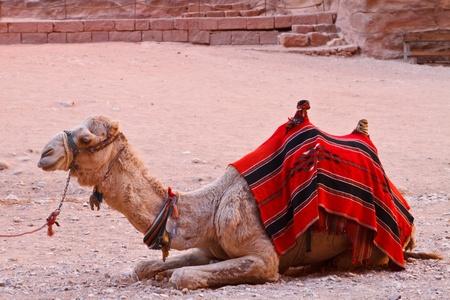 saddle camel: Camel sitting on a desert land  Stock Photo