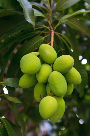 bitter fruit: Fresh and green Mango on the tree