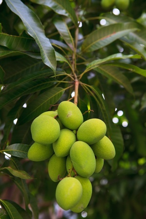 Fresh and green Mango on the tree