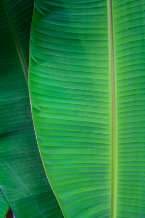 Detail of banana leaf close up for texture photo
