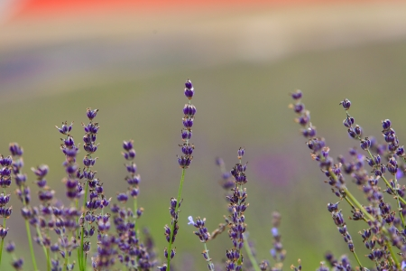 Lavender Flowers photo
