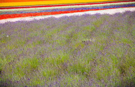 Beautiful Flower at Choei Lavender Farm,Furano Hokkido Japan photo