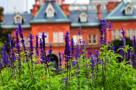 oficina antigua: Flor de la lavanda con la ex oficina de gobierno de Hokkaido en antecedentes.