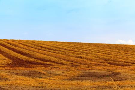 hay field: Hay field in summer day.
