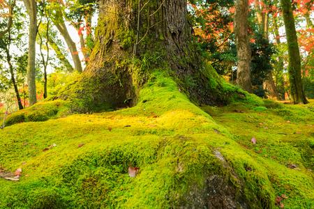 Green mos tree front of kinkaku-ji temple.
