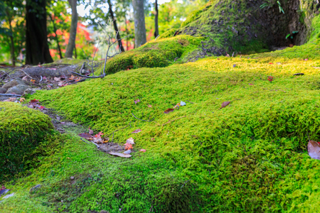 金閣寺の緑 mos ツリー前。 写真素材
